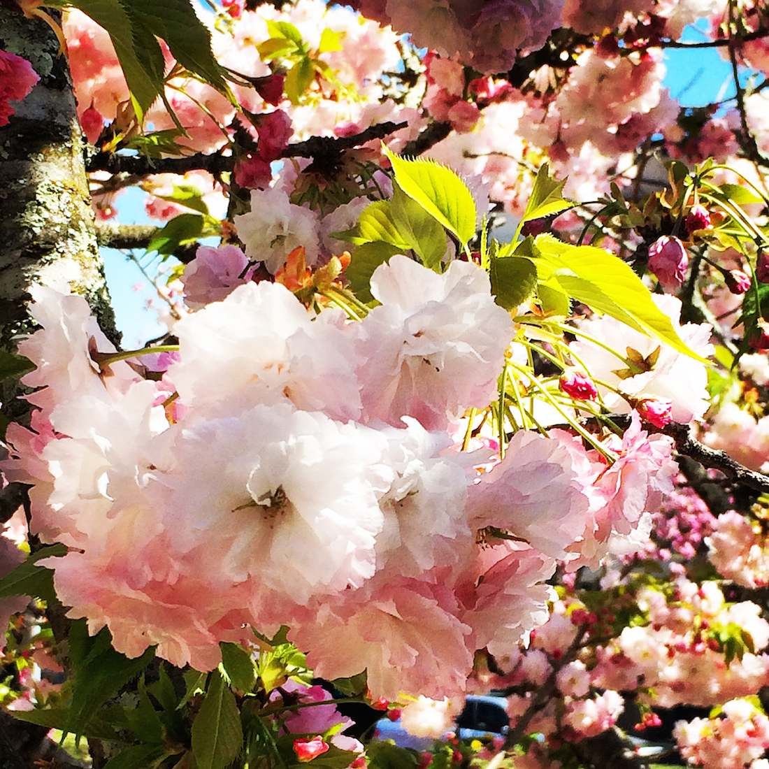 cherry-blossoms-leura
