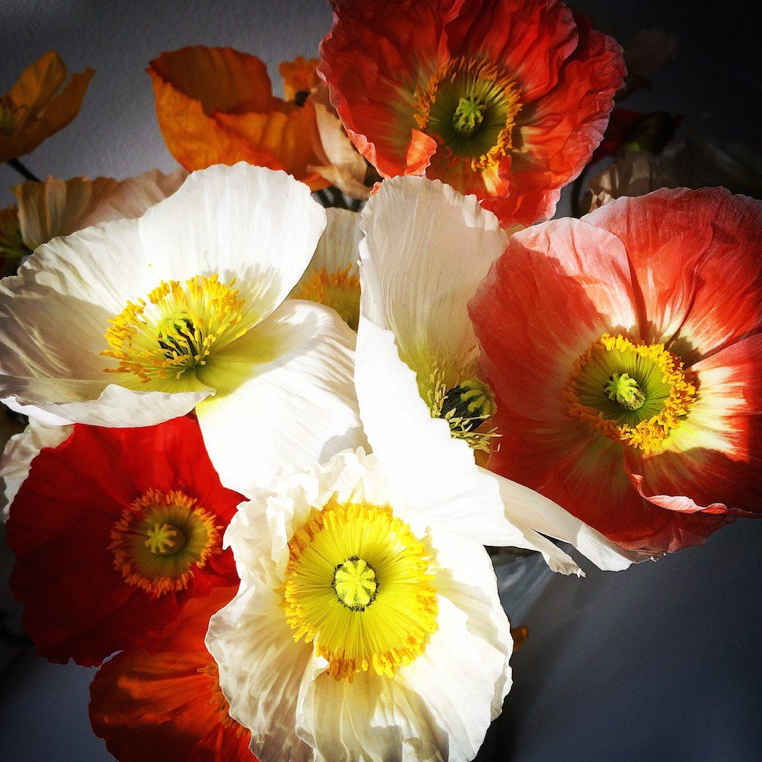 spring-poppies-voyager-boheme
